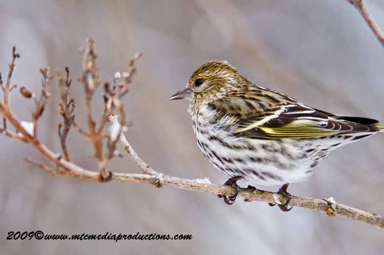 Pine Siskin Picture-29