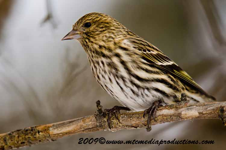 Pine Siskin Picture-03