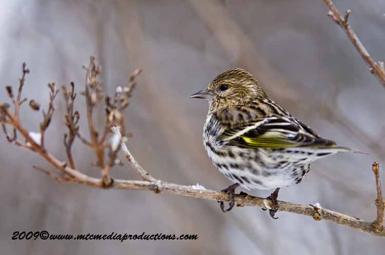 Pine Siskin Picture-30