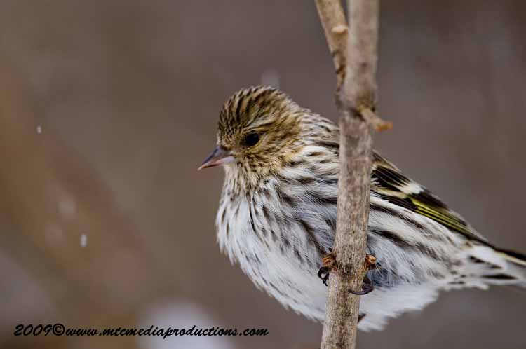 Pine Siskin Picture-31