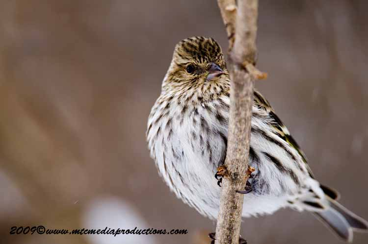 Pine Siskin Picture-32