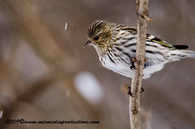 Pine Siskin Picture-33