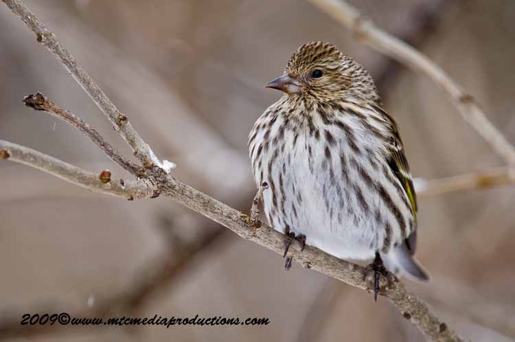 Pine Siskin Picture-34