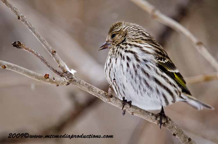 Pine Siskin Picture-35