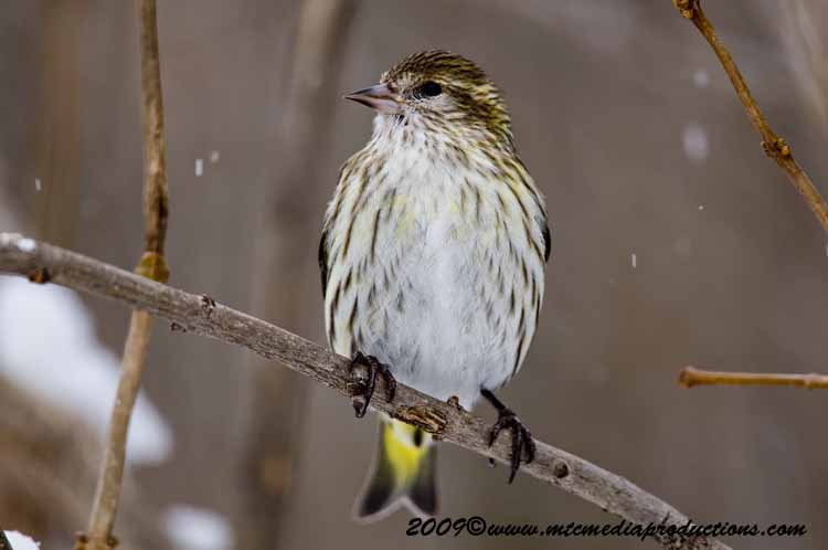 Pine Siskin Picture-36