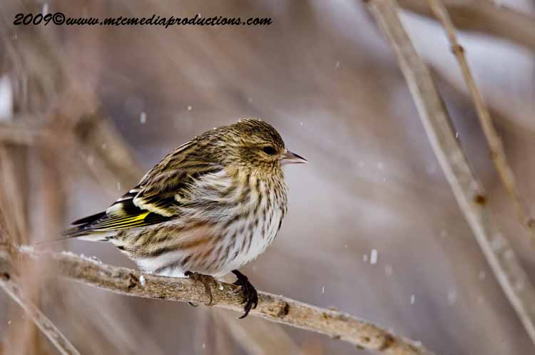 Pine Siskin Picture-37