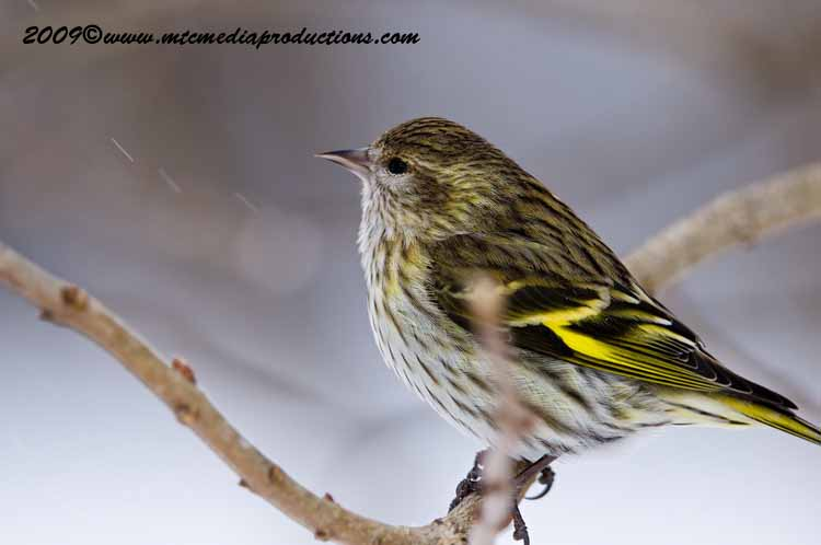 Pine Siskin Picture-38