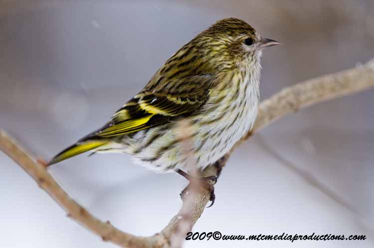 Pine Siskin Picture-39