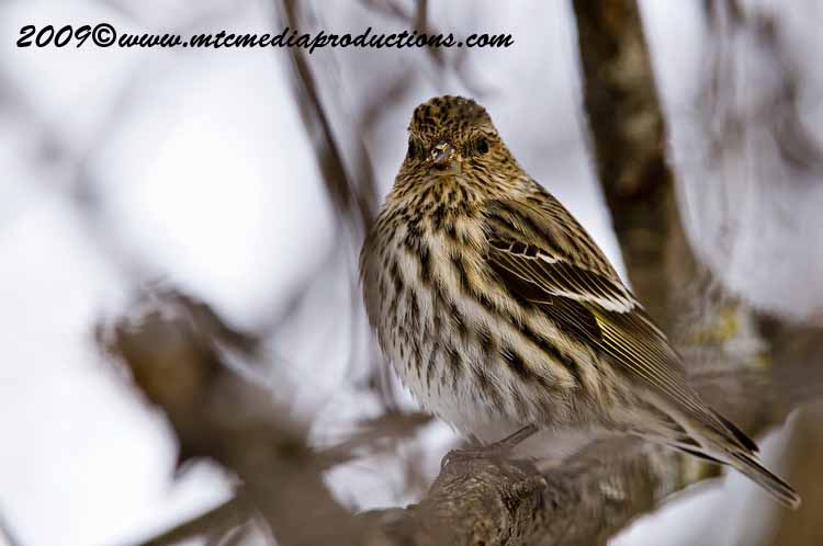 Pine Siskin Picture-04
