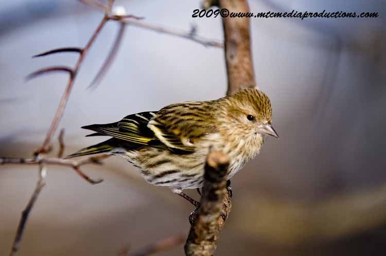 Pine Siskin Picture-40