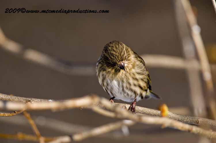Pine Siskin Picture-41