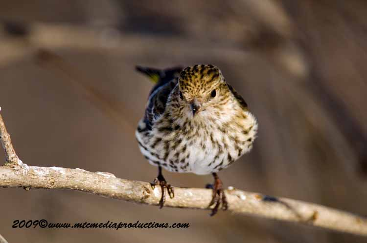 Pine Siskin Picture-42