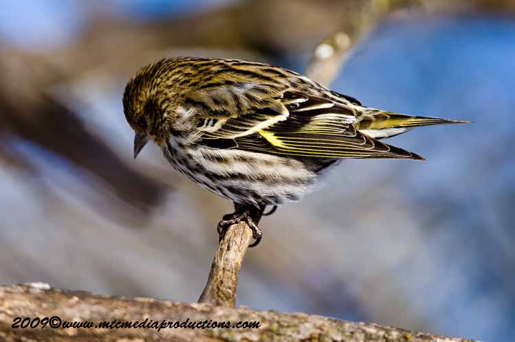 Pine Siskin Picture-43