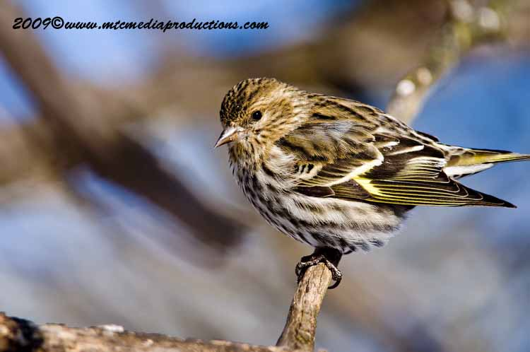 Pine Siskin Picture-44