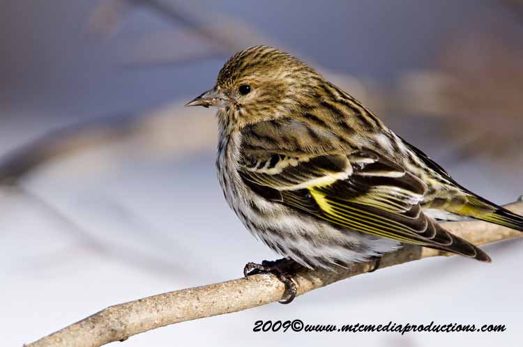 Pine Siskin Picture-45