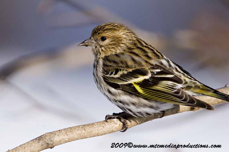 Pine Siskin Picture-46