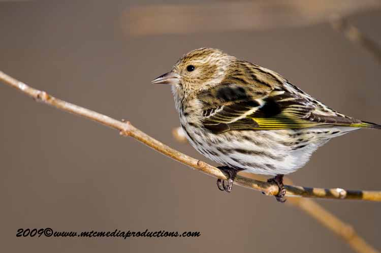 Pine Siskin Picture-47
