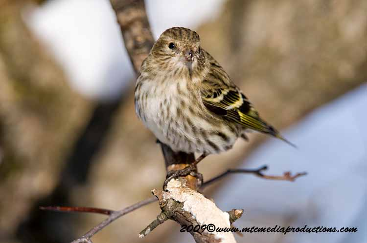 Pine Siskin Picture-48