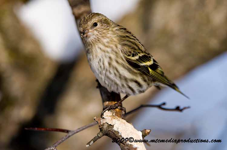 Pine Siskin Picture-49