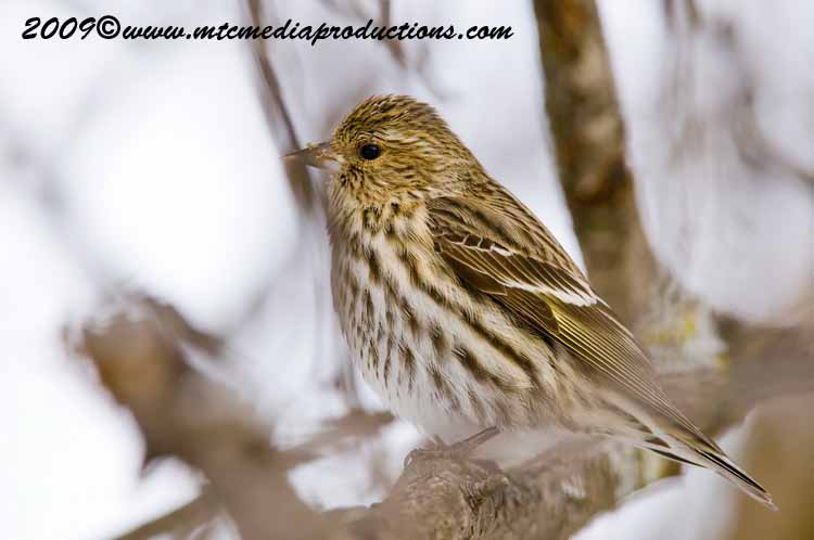 Pine Siskin Picture-05