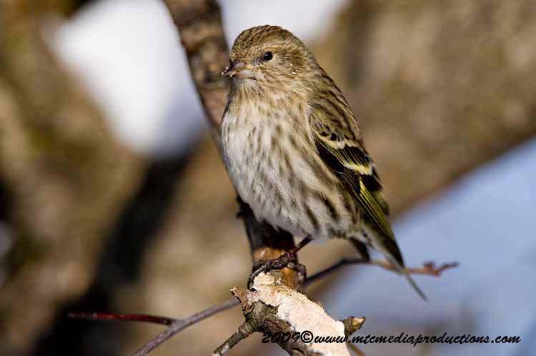 Pine Siskin Picture-50