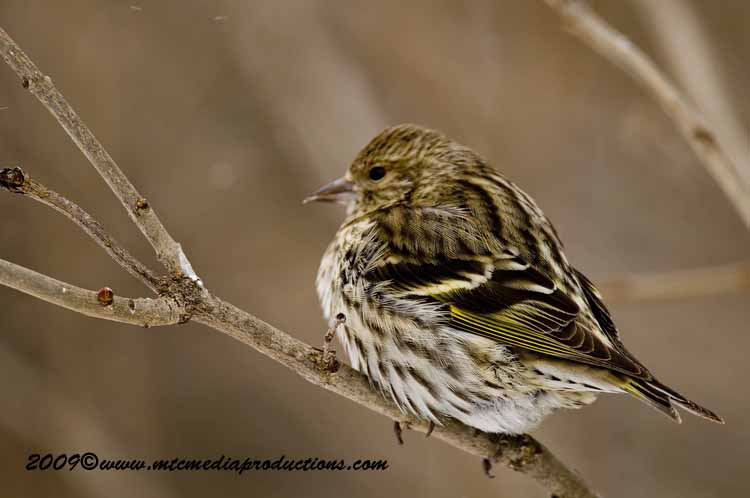 Pine Siskin Picture-51
