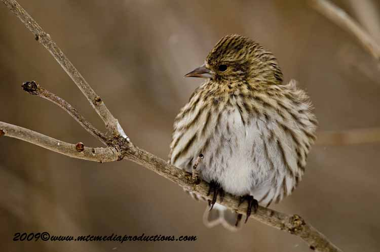 Pine Siskin Picture-52
