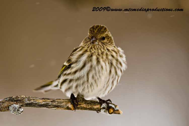 Pine Siskin Picture-53
