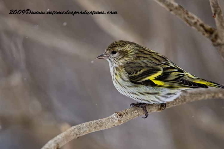 Pine Siskin Picture-54