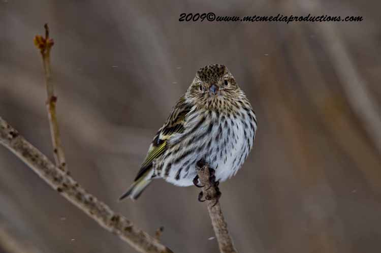 Pine Siskin Picture-55