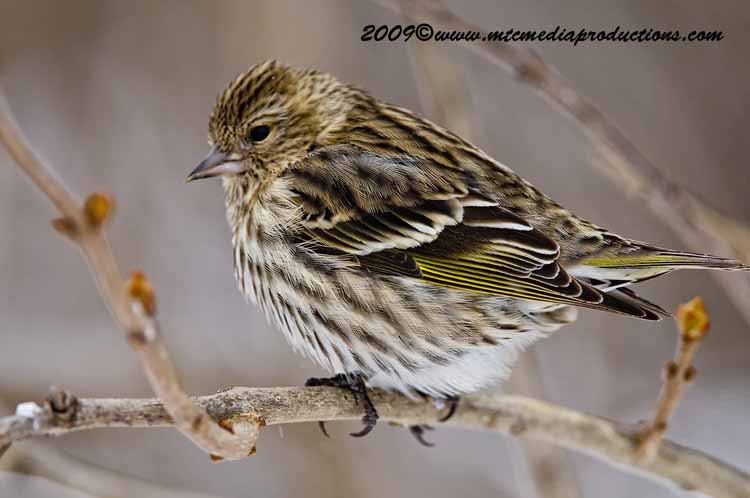 Pine Siskin Picture-56
