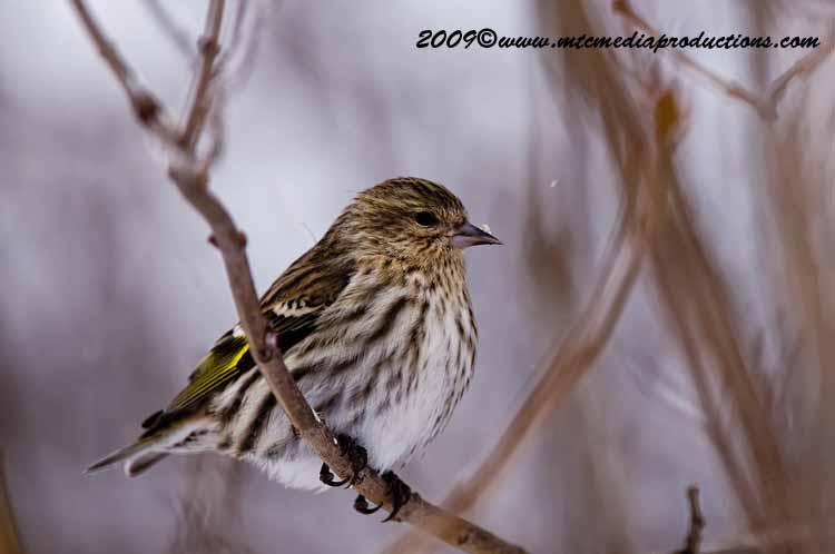 Pine Siskin Picture-58