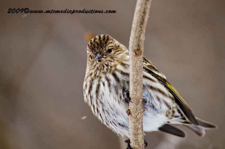 Pine Siskin Picture-59