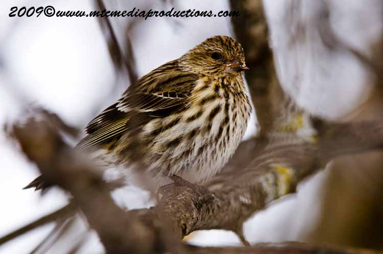 Pine Siskin Picture-06
