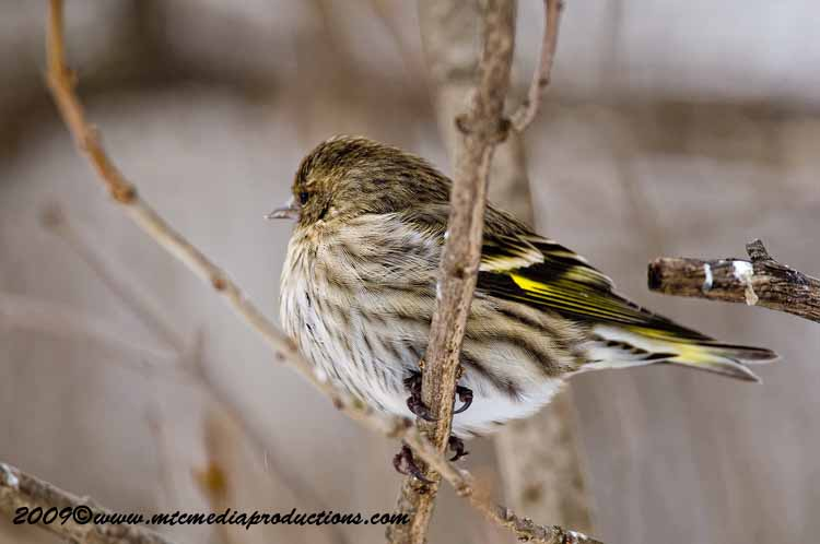 Pine Siskin Picture-60