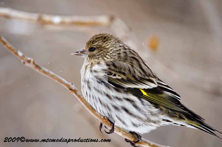 Pine Siskin Picture-61