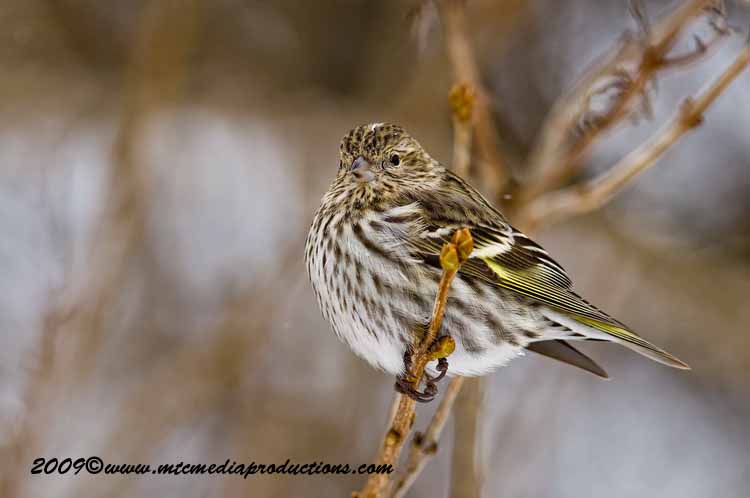 Pine Siskin Picture-62