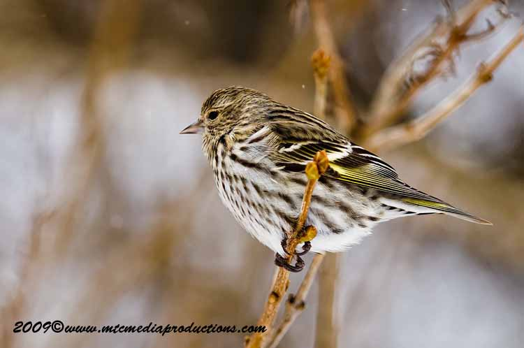 Pine Siskin Picture-63