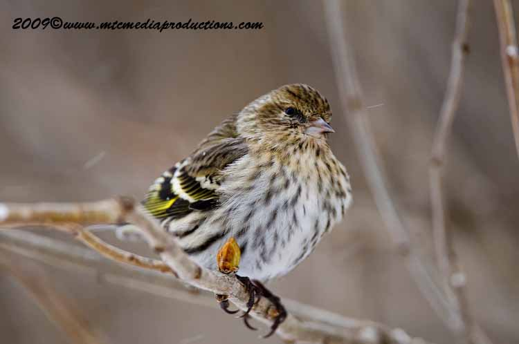 Pine Siskin Picture-64