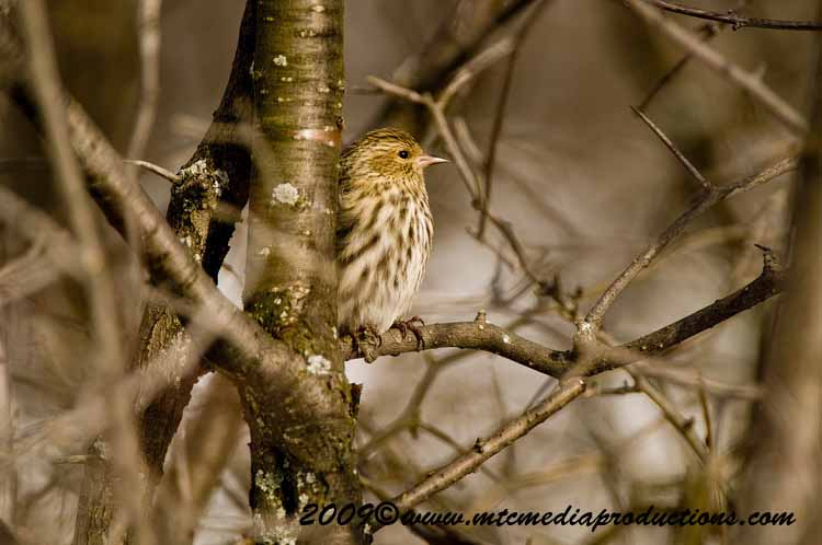 Pine Siskin Picture-07