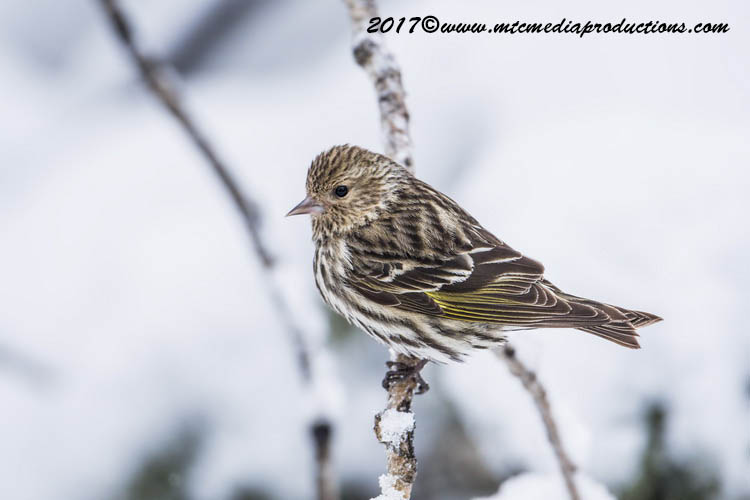 Pine Siskin Picture