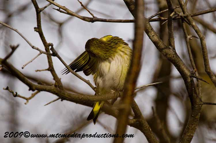 Pine Siskin Picture-08