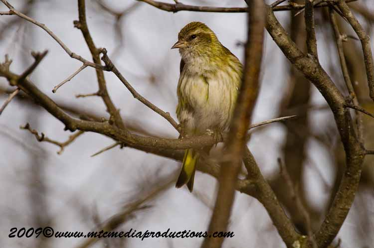 Pine Siskin Picture-09