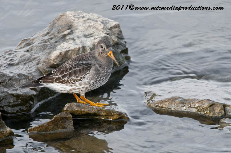 Purple Sandpiper Picture-00