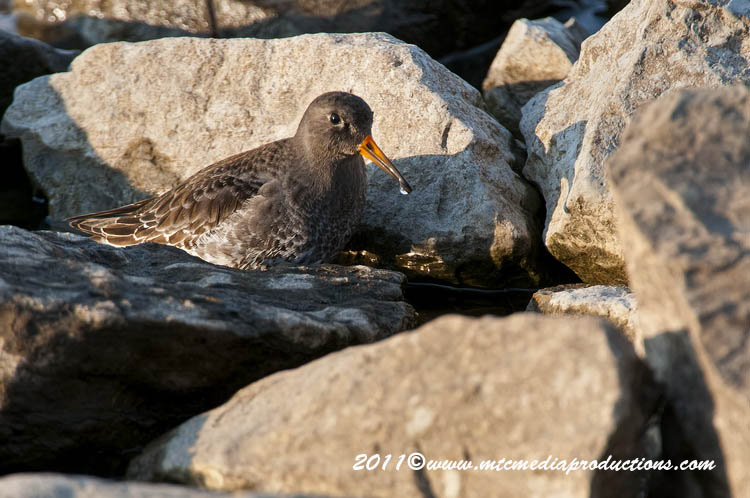 Purple Sandpiper Picture-10