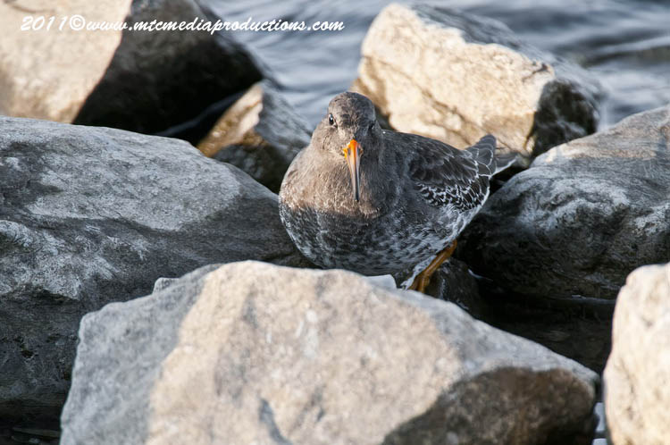 Purple Sandpiper Picture-12