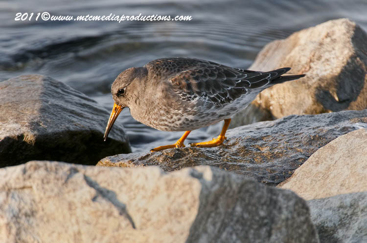 Purple Sandpiper Picture-15