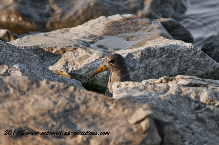 Purple Sandpiper Picture-17