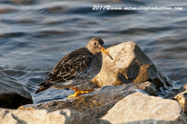 Purple Sandpiper Picture-18