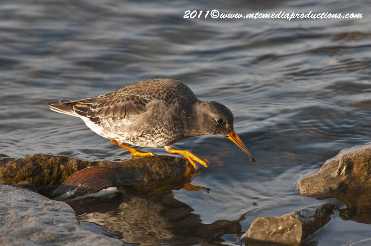 Purple Sandpiper Picture-19